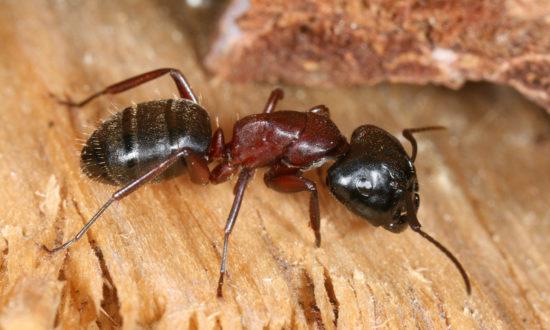 dřevokazný mravenec