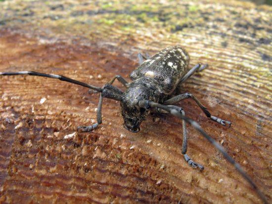 dřevokazný hmyz - tesařík
