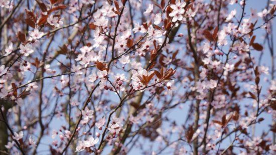 strom rodu prunus